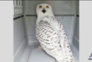 Wild bird rehab releases snowy owl rescued from Bayonne power plant